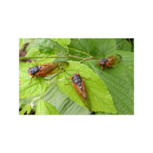 Cicada Trio Postcard   4×6 Cicadas, Insects Flat Card, Nature, Bugs, Small Gift, Small Print