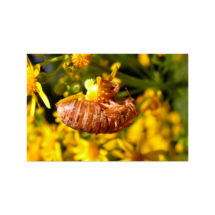 Cicada Shell Postcard   4×6 Insect Exoskeleton Flat Card, Nature, Bug, Small Gift, Small Print